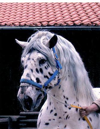 Pferd Reiter Noriker